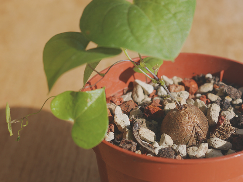 dioscorea elephantipes young plant 1 year old